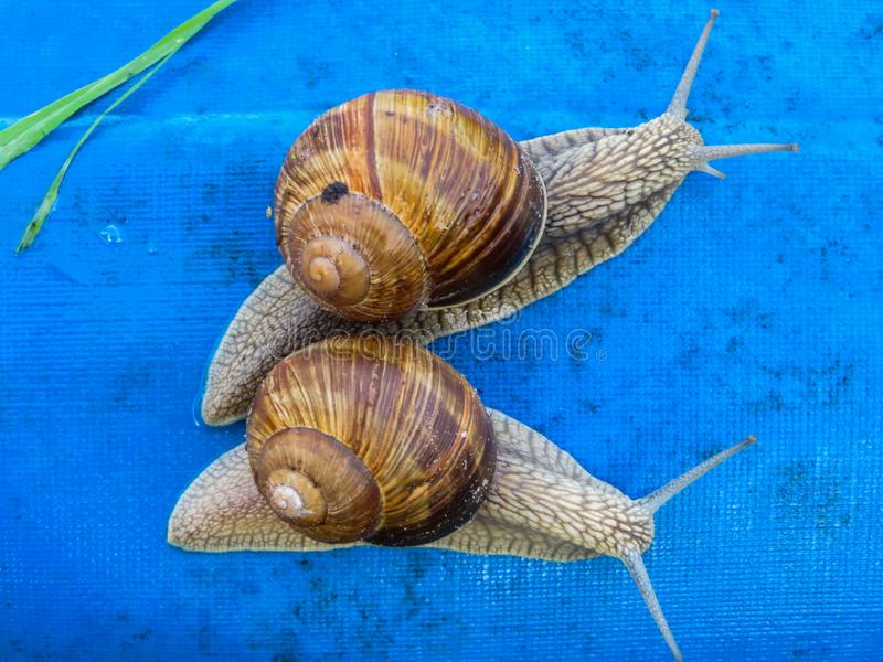 Many grape snails on a piece of blue awning in the garden.  royalty free stock image