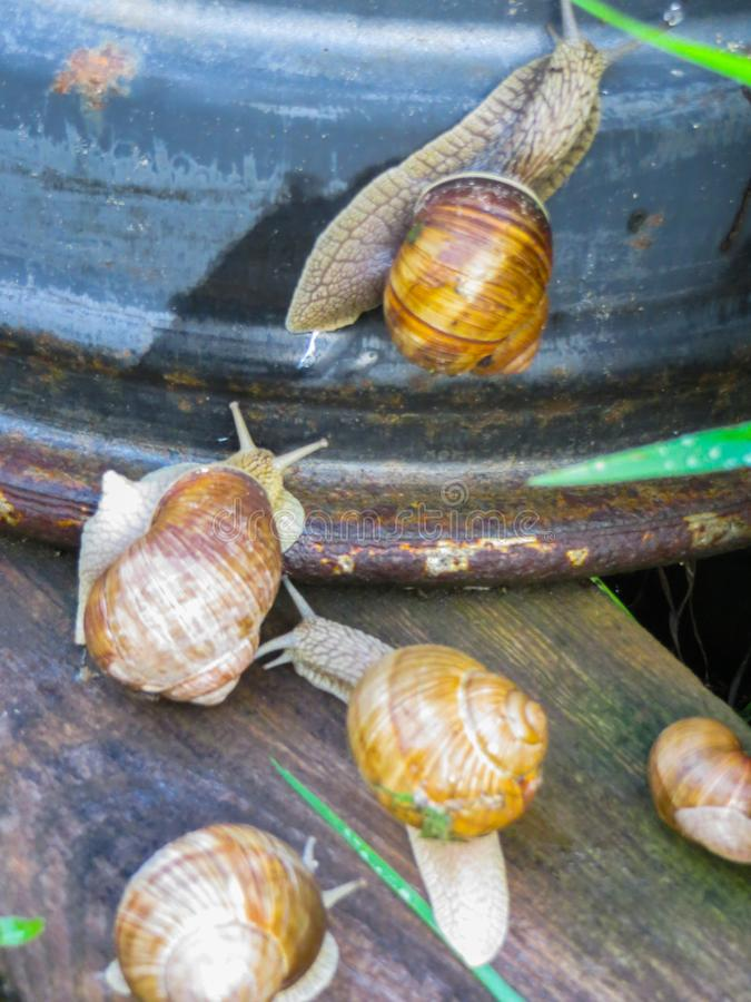 Many grape snails on a piece of blue awning in the garden.  royalty free stock photos