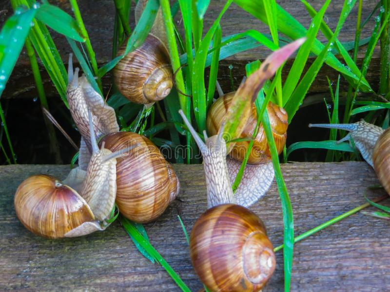 Many grape snails on a piece of blue awning in the garden.  royalty free stock photo