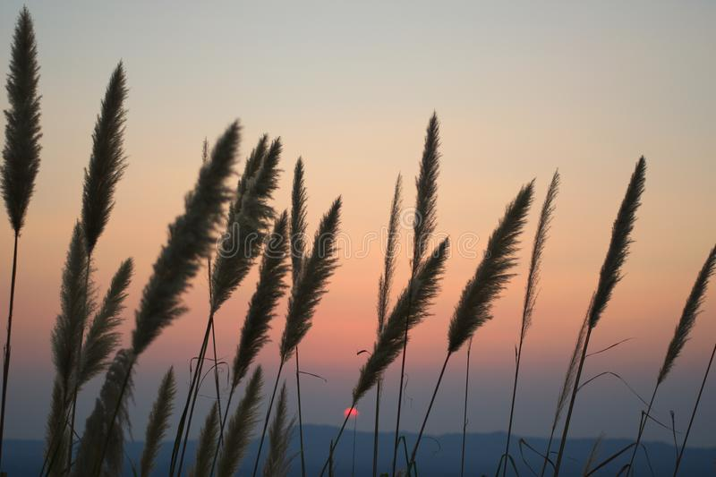 Many grass flowers rise in a row and the sun sinking in the cloud behind the hill. The beautiful natural scene of many grass flowers rise in a row and the sun royalty free stock photos