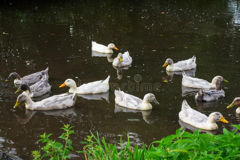Many gray and white ducks swim in the pond stock photos
