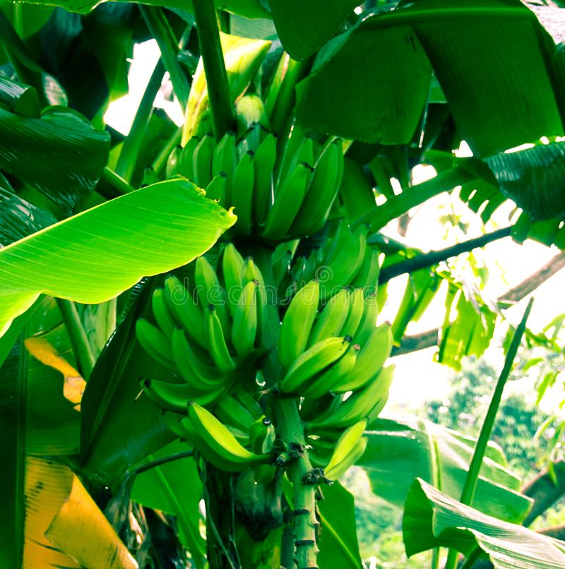 Some big green bananas are hanging on the trees. stock image