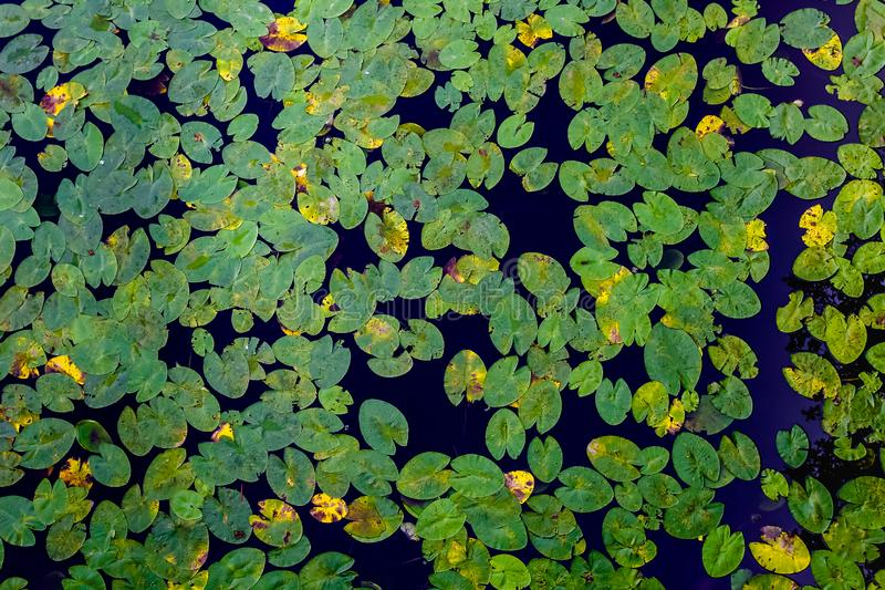 Many green water lilies leafs seen from above. Decorative pattern of leafs and water. royalty free stock images