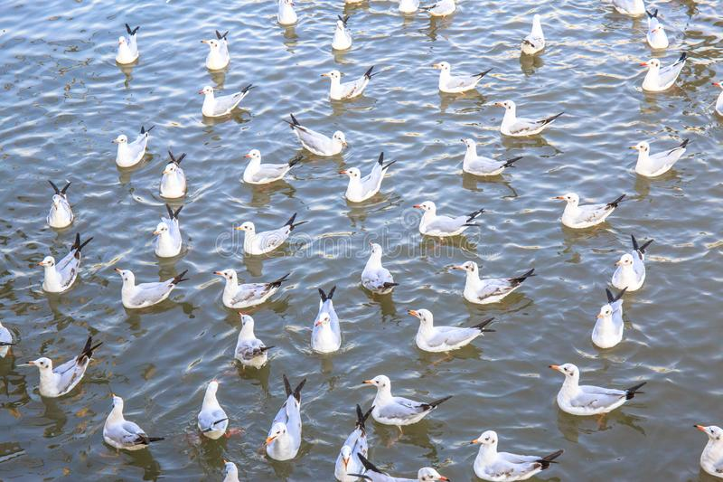 Many or group of Seagull bird swimming on sea at Bang poo, Samutprakan, Thailand. A lot birds stock image