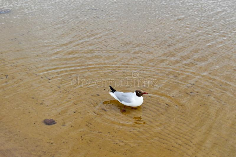 Many gulls of ducks of birds on the lake with yellow turbid water on the beach on the beach royalty free stock photography