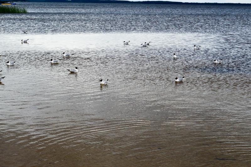 Many gulls of ducks of birds on the lake with yellow turbid water on the beach on the beach royalty free stock images