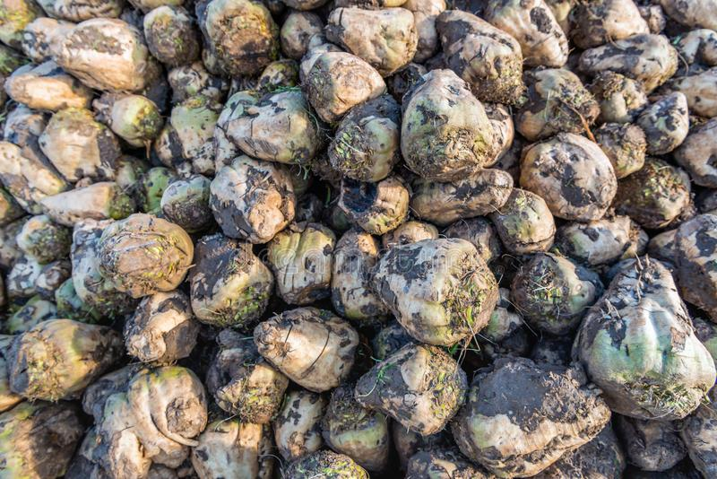 Many harvested sugar beets from close. Part of a heap with recently harvested sugar beets waiting for transport to the sugar factory in the Netherlands. The stock photo
