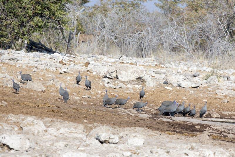 Many helmeted guineafowl at Etosha National Park. Namibia royalty free stock image