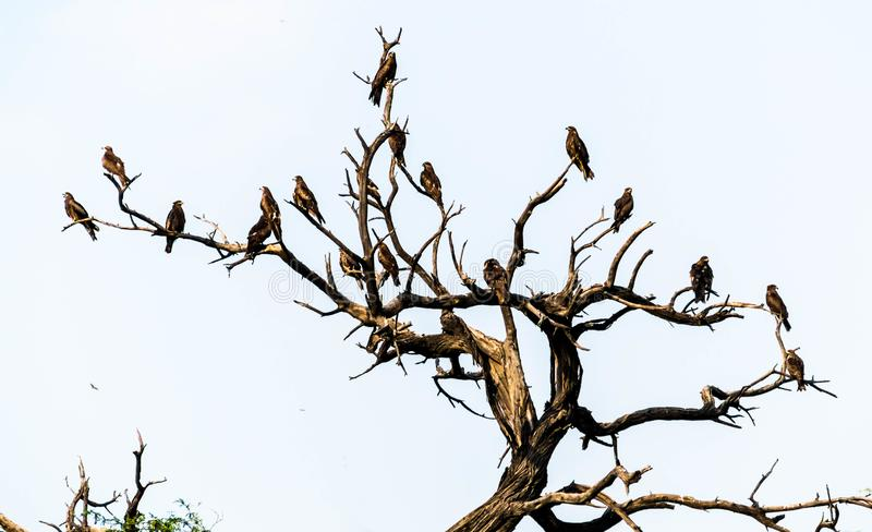 Indian kites. Many indian kites waiting for prey royalty free stock photo