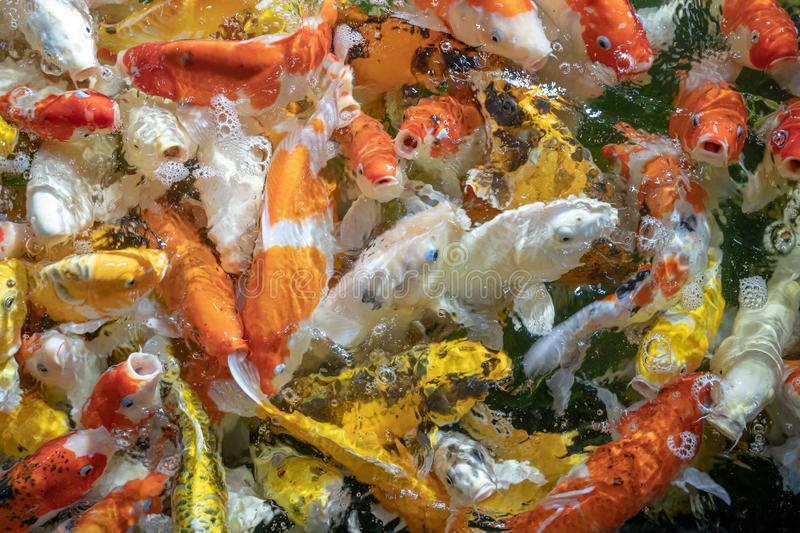 Many koi fish swim in the pond.shallow focus effect royalty free stock photos