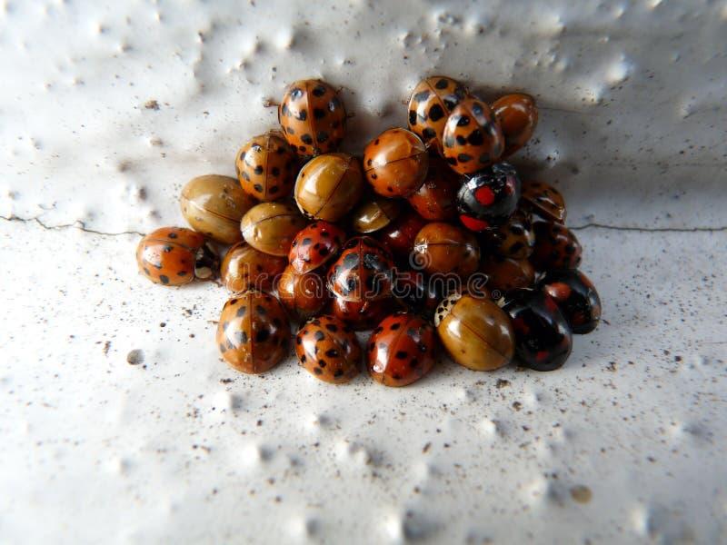 Many ladybug on a pile of hibernating stock image