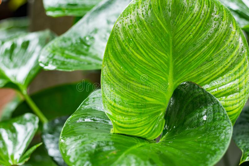 Many large green leaves are wet. And juicy on rainy days royalty free stock images