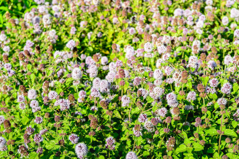 Many lilac flowering water mint plants from close. Closeup of a large field full of lilac and purple blooming Water Mint or Mentha aquatica plants in their own royalty free stock images