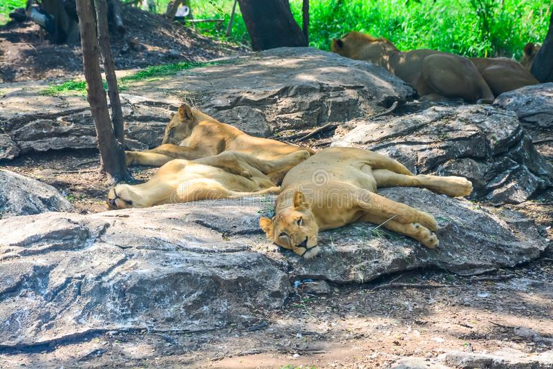 Many lions avoid the sunlight s are under big trees. In sunlight time. they like to relax on big stone under the tree stock photo