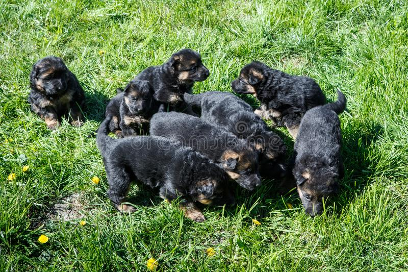 Many little german shepherd puppies play on green grass. Many cute little black german shepherd puppies play on young green grass in garden stock image