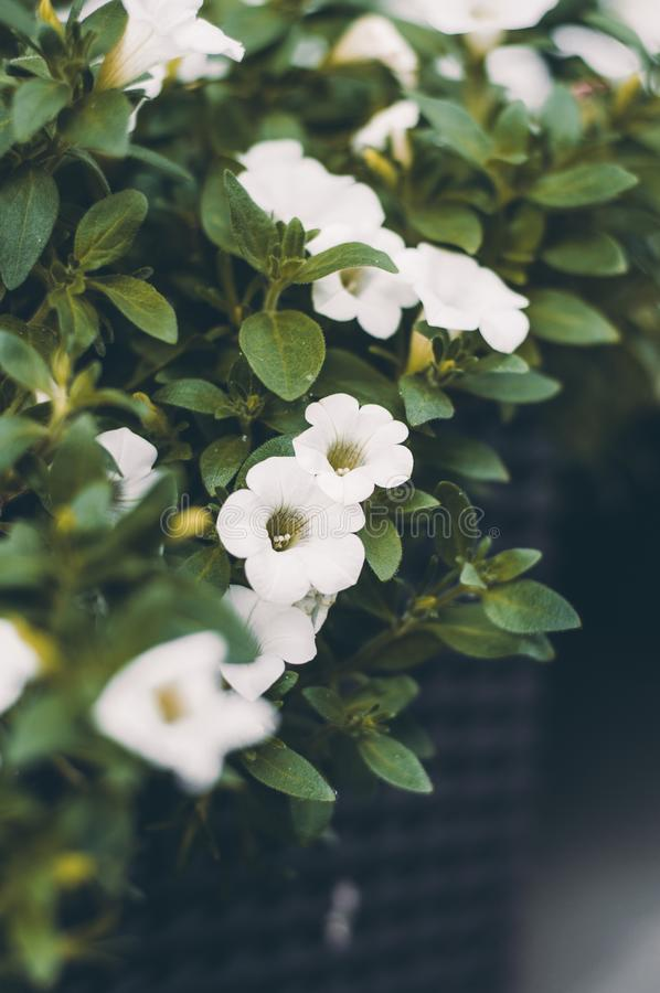 Many little white flowers in the box on balcony. Blooming flora stock photo