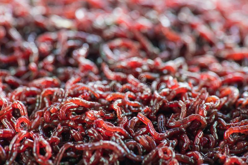 Many live worms bloodworms are red closeup. stock photography