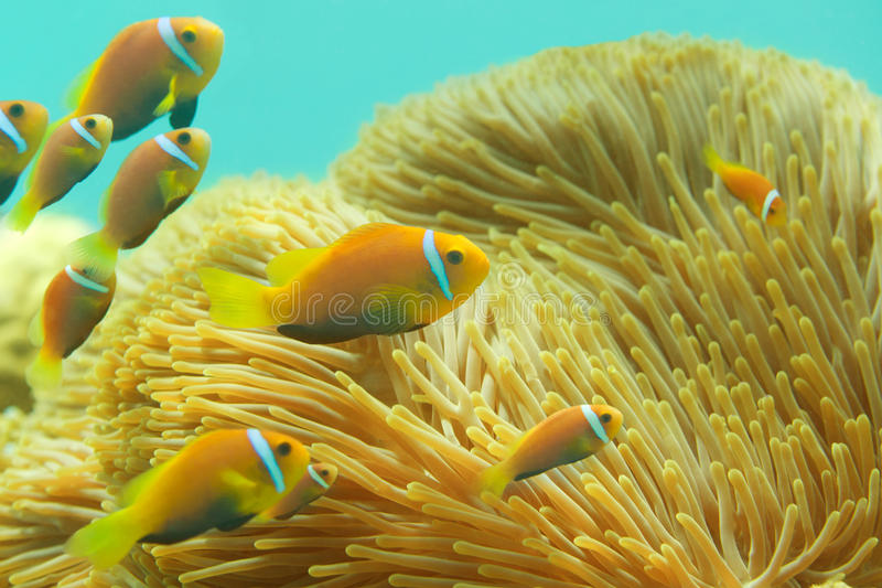 Many Maldivian clownfishes. Swimming between sea anemones stock images