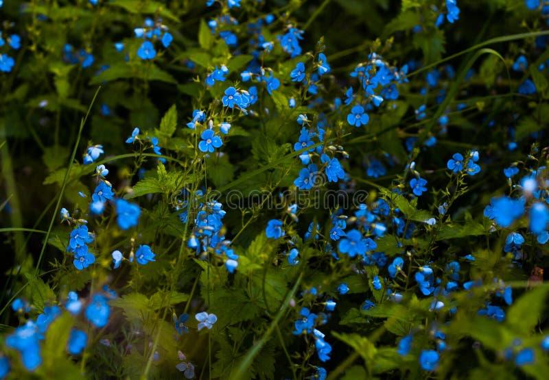 Many many blue Myosótis family at he green gras. S background royalty free stock photo