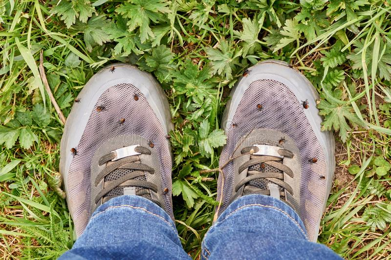 Many mites on human shoes. Acaricidal danger. Lots of encephalitic mites on human shoes after walking through the grass stock photos