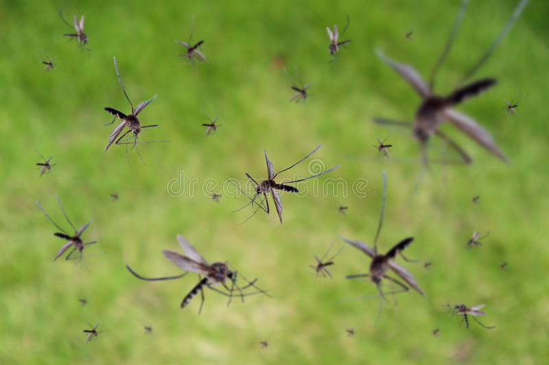 Many mosquitoes fly over green field royalty free stock photography