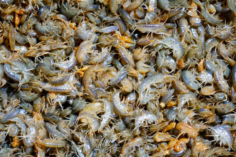 Many multicolored live crustaceans - scuds as background. A lot of live crustaceans - amphipods as background. Excellent winter fishing lure royalty free stock image