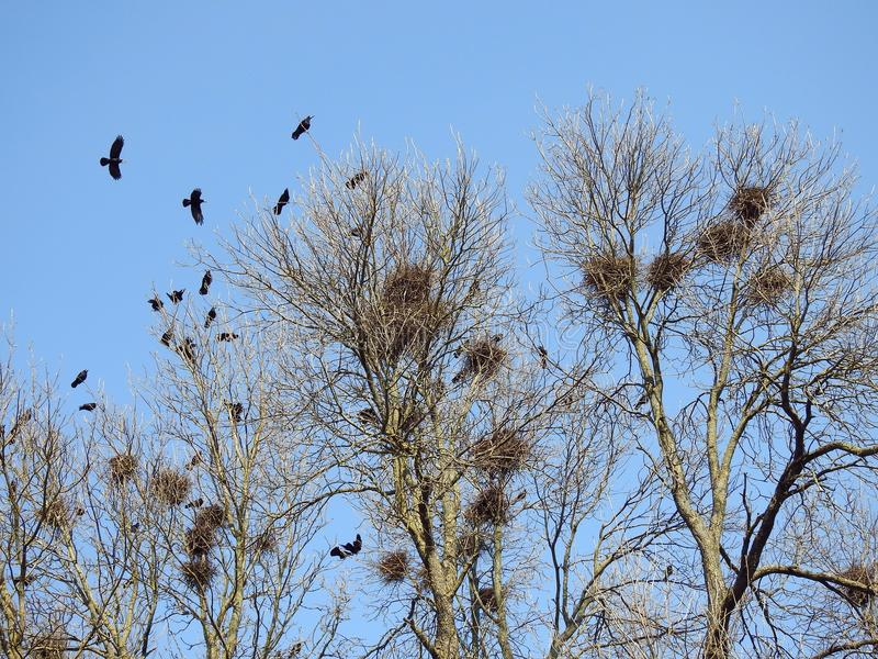 Crow birds and nests in tree, Lithuania royalty free stock photography