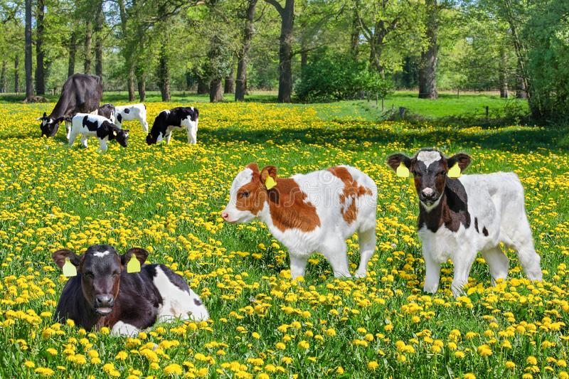 Many newborn calves with cow in blooming dutch meadow stock images