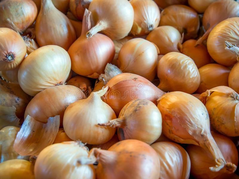 Many onions are scattered for drying and storage stock image