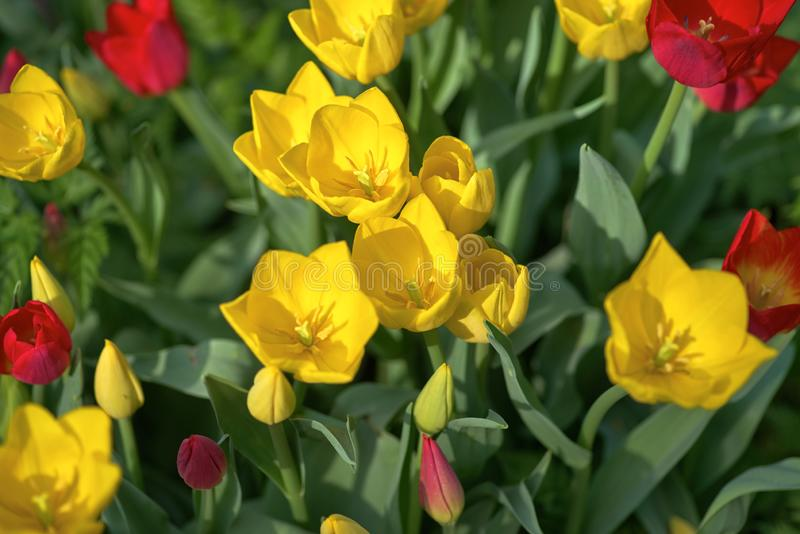 Many opened yellow tulips on a sunny day, top view. Tulip Grade Strong Gold. Many opened yellow tulips on sunny day, top view. Tulip Grade Strong Gold stock photography