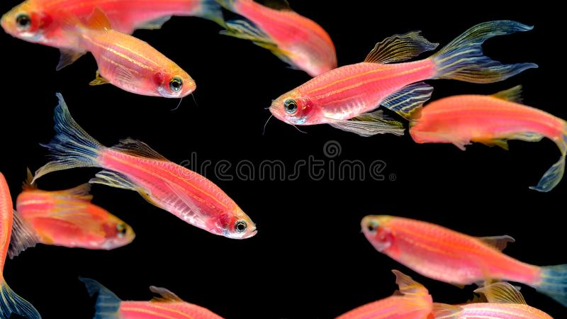 Many orange zebra fish live together in a bright, cheerful swimming pool. Isolated on a black background. royalty free stock images