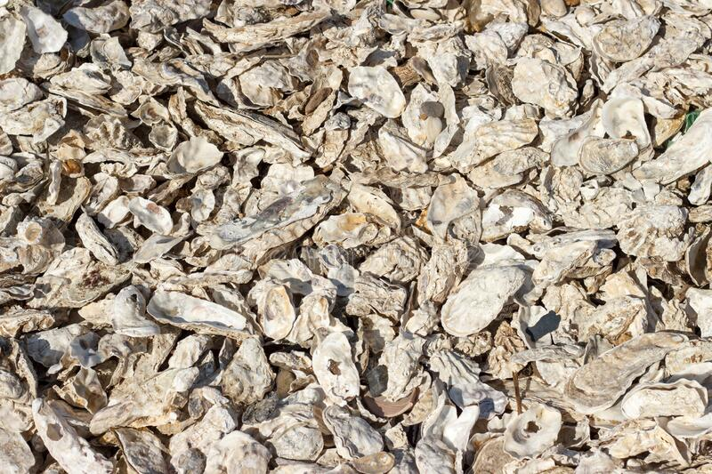 Oyster shells thrown by the storm on the seashore closeup. Many oyster shells thrown by the storm on the seashore closeup royalty free stock image