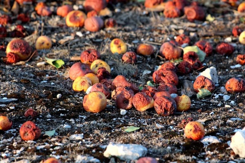 Many partially and fully rotten yellow apples fallen from near tree on ground and left to rot surrounded with dry grass and small royalty free stock photography