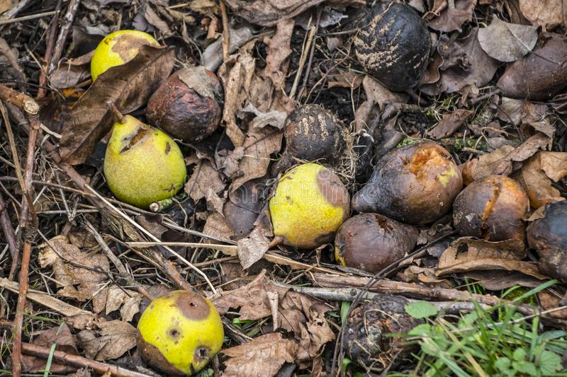Many partially and fully rotten yellow apples fallen from near tree on ground and left to rot surrounded with dry grass and small royalty free stock image
