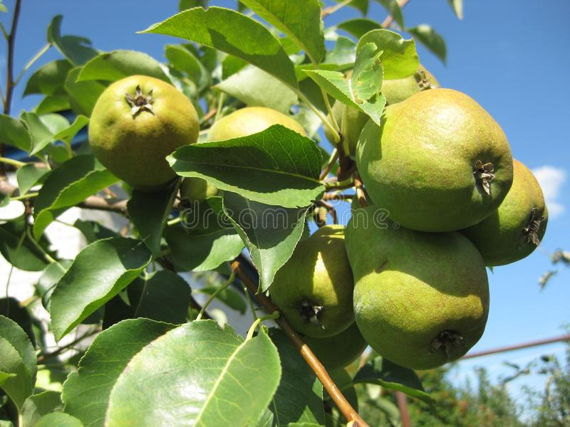 Many pears hanging on a branch against the blue sky. royalty free stock images