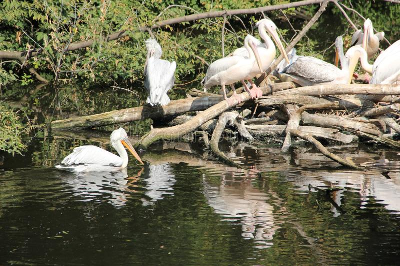 Many pelicans in the pond in the zoo royalty free stock photo
