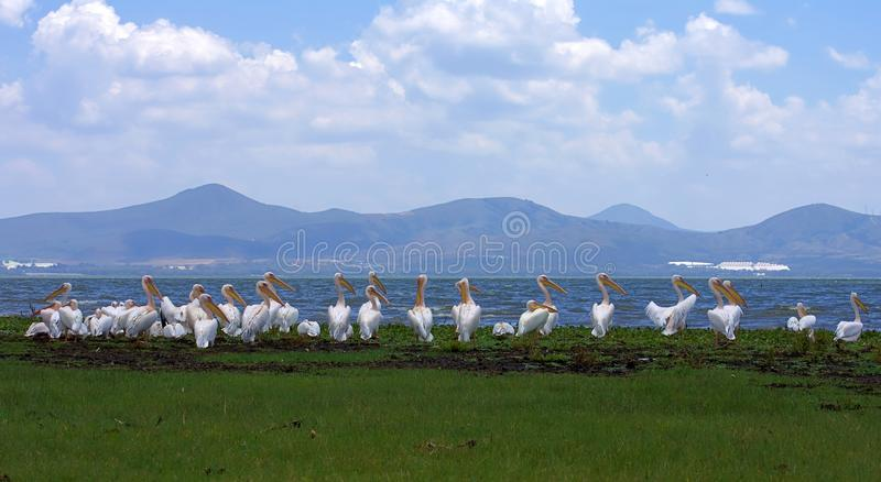 Many pelicans sitting in a row, near lake side, beautiful lake & mountains on background stock image