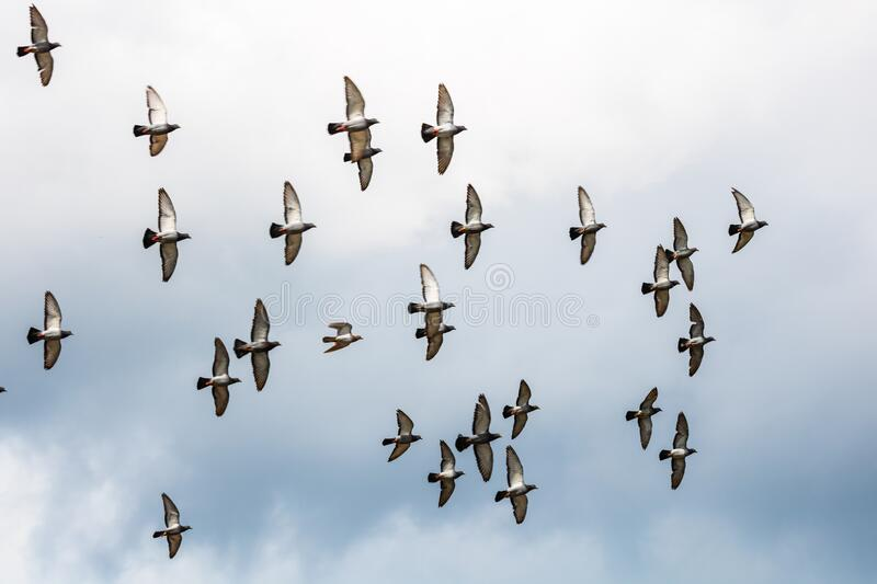 Many pigeons birds flying in the cloudy sky royalty free stock images