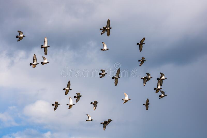 Many pigeons birds flying in the cloudy sky royalty free stock image