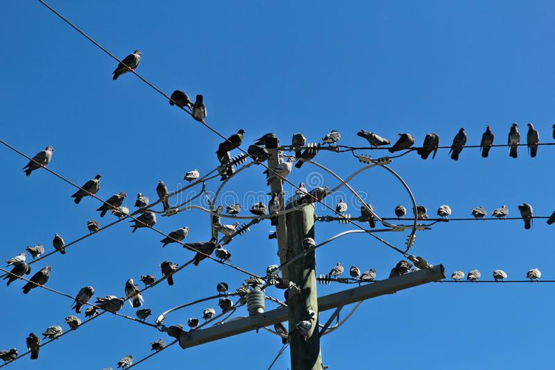 Many pigeons sat on a some wires royalty free stock photos