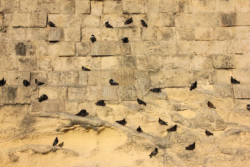Many pigeons sitting on vertical yellow brick old fort wall. Pattern stock images