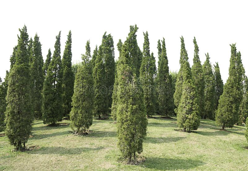 Many pine Ornamental plants Green Tree and meadow isolated at on white background of file with Clipping Path.  stock image