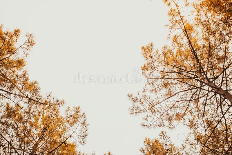 Many Pine trees going up in forest stock photography