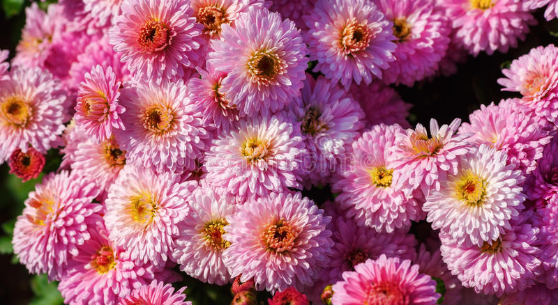 Many pink flowers stock images