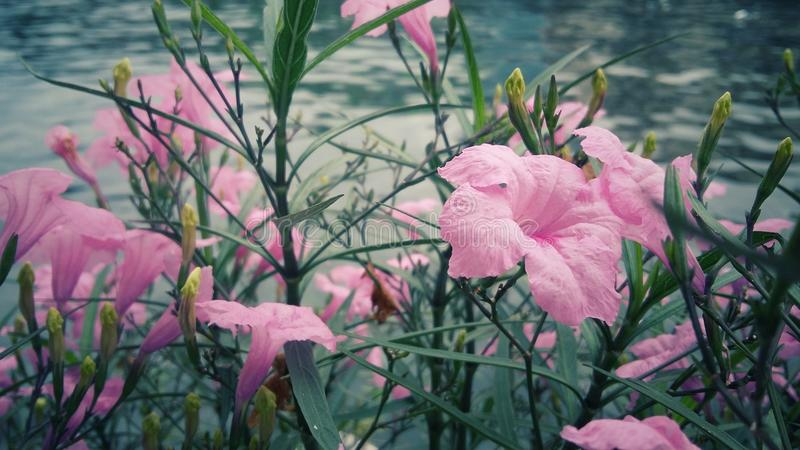 Many pink flowers with close-ups. In the day have a river background for vintage and wallpaper stock photos