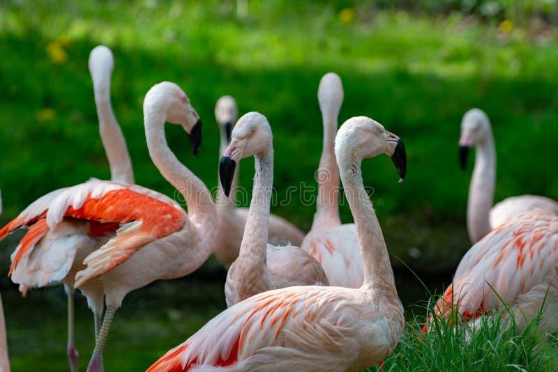 Pink framingo birds close up royalty free stock photography