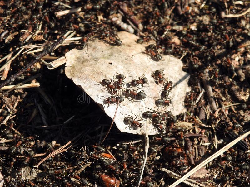 Many ant animals in spring, Lithuania stock photography