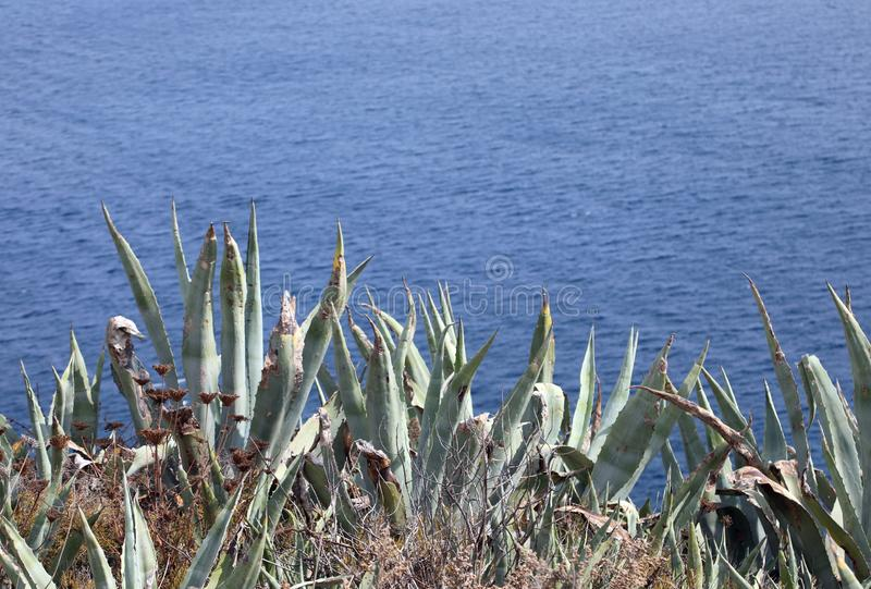 many plants of Agave royalty free stock images