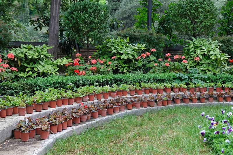 Many plastic brown pots with plants in the garden. Growing seedlings for flowers in pots in the open air royalty free stock photos