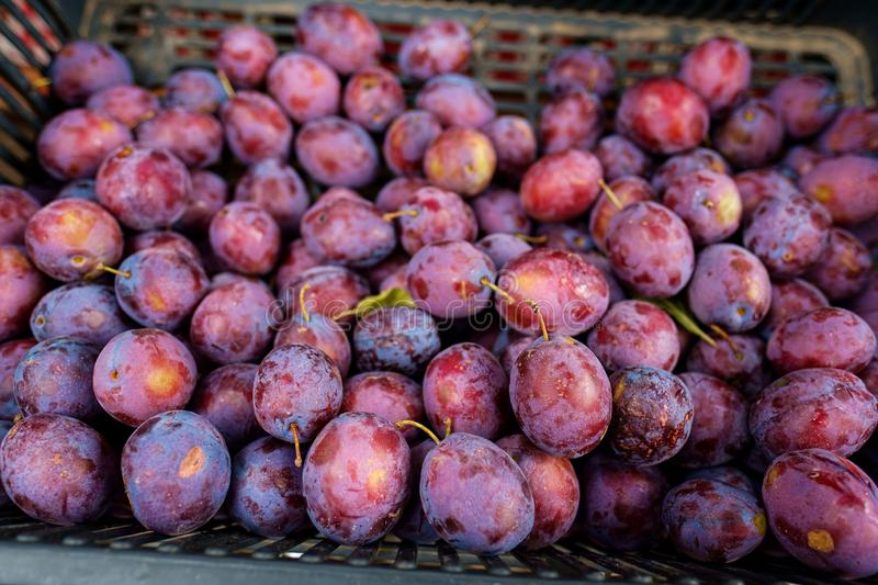 Many plum healthy food in fruit basket on street market, close up, selective focus. Purple colors royalty free stock photos